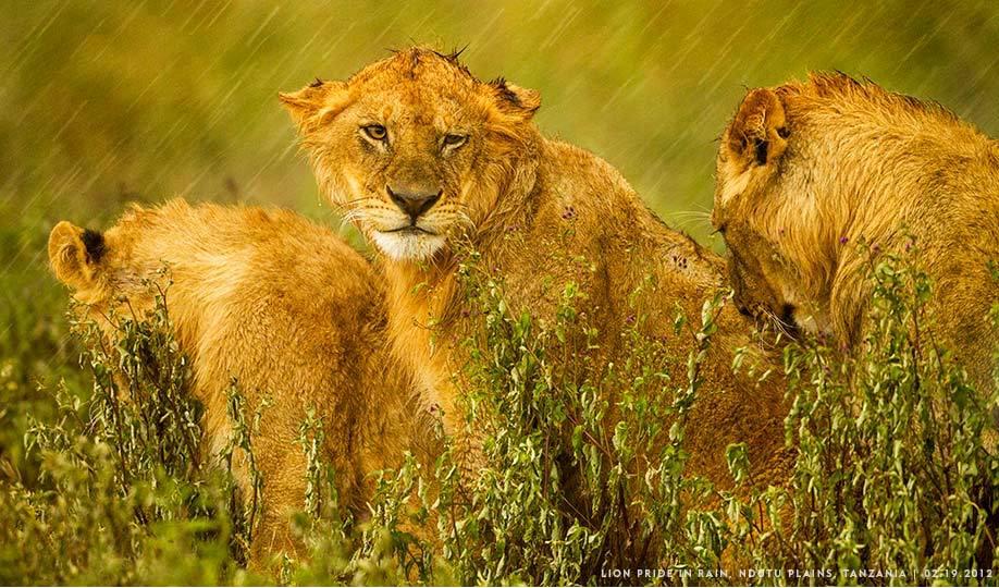 Paul Sonder_Tanzania_Lion