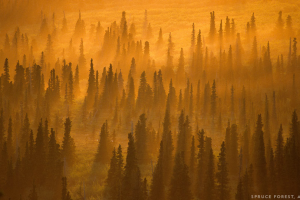 Paul Souder - Spruce Forest